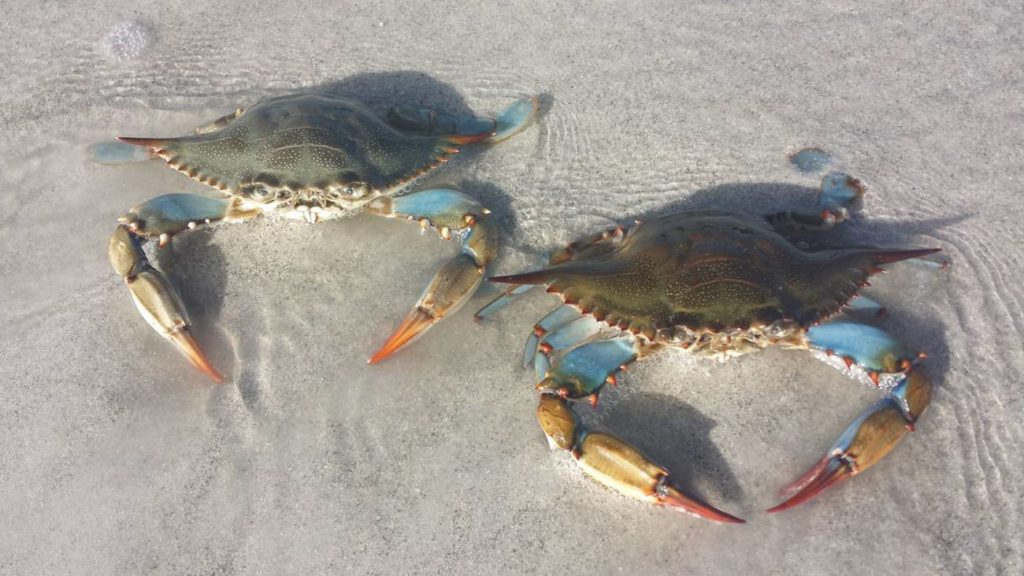 Blue crabs on the beach in Sanibel, FL
