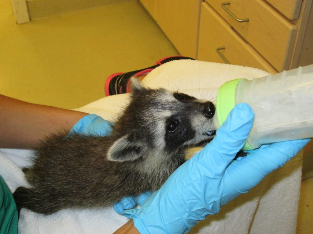 Baby raccoon being bottle fed at CROW in Sanibel Island