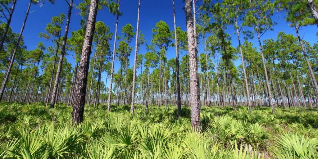 Pine Flatwoods on pine island