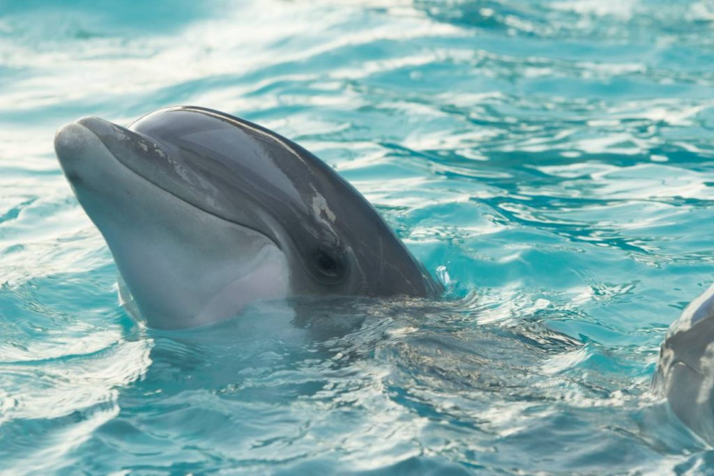 Swim with the dolphins at Ocean Tribe in Sanibel Island.